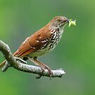 Brown Thrasher by Nancy Barrett