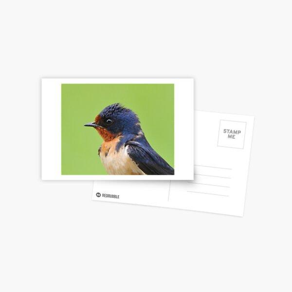 Barn Swallow Portrait Postcard