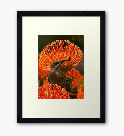 Cape Sugarbird or Bee-eater? Framed Print