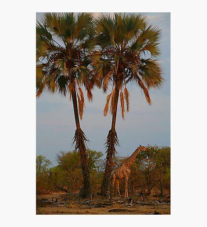 Giraffe Under Palm Trees Photographic Print
