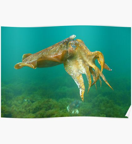 Giant Cuttlefish Poster