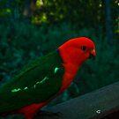 King Parrot, Male - Mt. Victoria by Steven Maynard