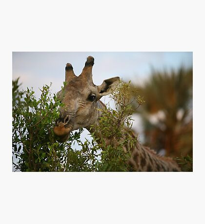 Hedge Trimmer Photographic Print