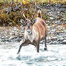 Caribou ~ Going In by akaurora