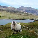 Schwarzes gegenübergestelltes Schaf von Kathryn Jones