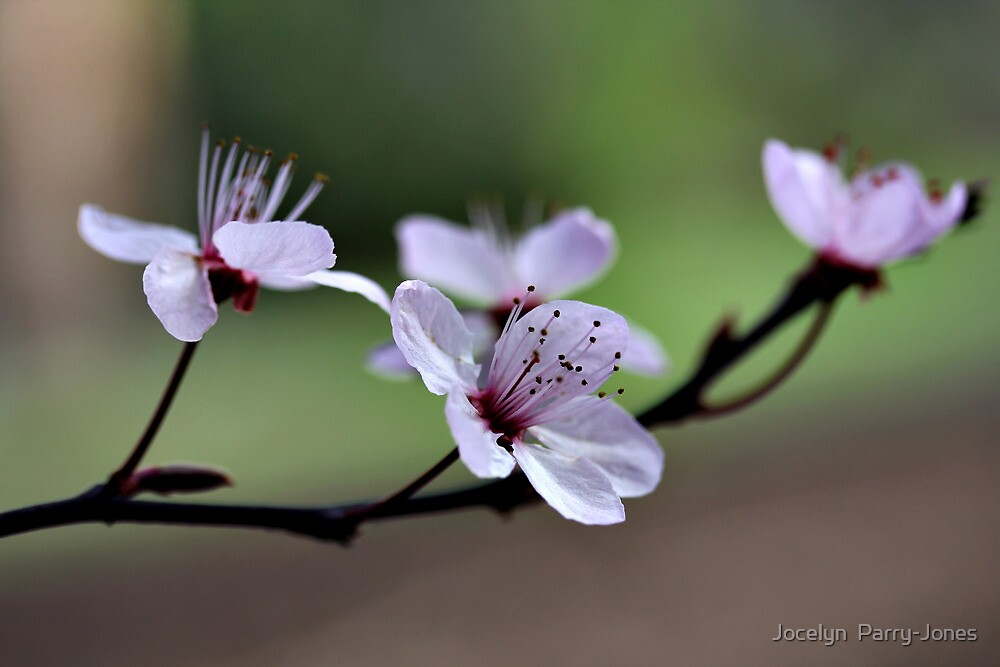 Flowers Before the Leaves by Jocelyn  Parry-Jones