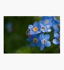 Raindrops on forget-me-nots Photographic Print