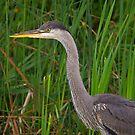 Blue heron profile by Daniel  Parent
