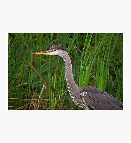 Blue heron profile Photographic Print