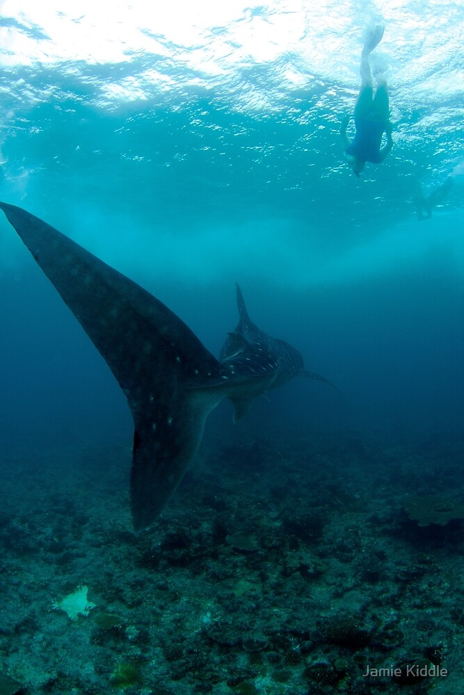 Whale Shark and Snorkeller by Jamie Kiddle