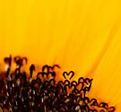 the heart of a sunflower by Ingrid Beddoes