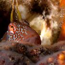 False Tasmanian Blenny- HMAS Perth by Jamie Kiddle