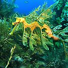Leafy Seadragon by Jamie Kiddle