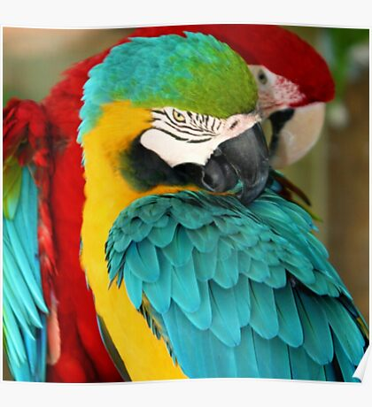 Macaws at the Jungle Gardens XX Poster