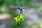Dragonfly by RebeccaBlackman