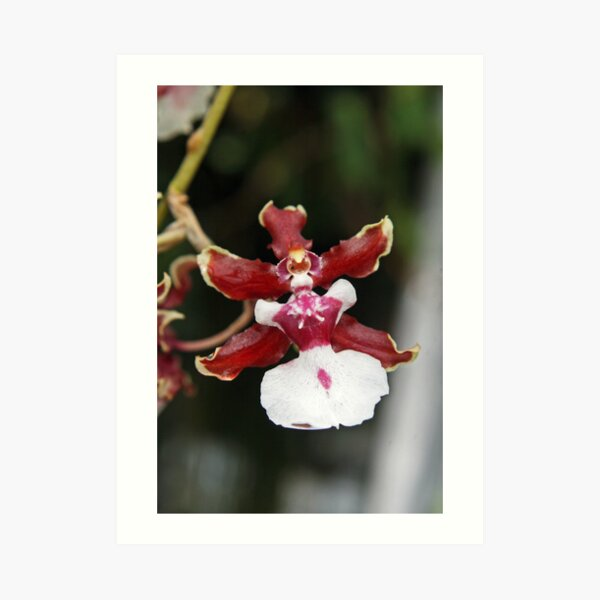 Oncidium Sharry Baby, sweet fragrance, orchidaceae Art Print