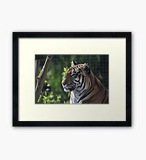 Rana - Bengal Tiger - Shepreth Wildlife Park 2010 Framed Print