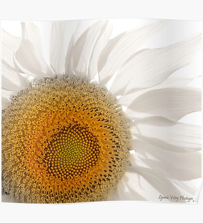 Pale Sunflower Poster