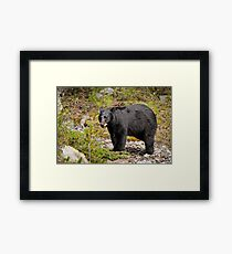 Black Bear, Canada Framed Print