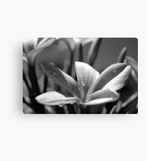 Frangipanis in balck and white  Canvas Print