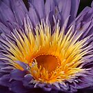 Water Lily Close-Up by chrstnes73