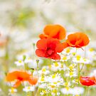 Poppy in the Field of Daisies by Phototrinity