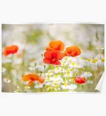 Poppy in the Field of Daisies Poster