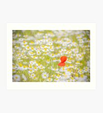 Field of Daisies and the Lonely Poppy Art Print