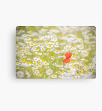 Field of Daisies and the Lonely Poppy Metal Print