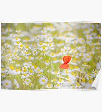 Field of Daisies and the Lonely Poppy Poster