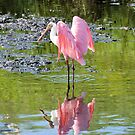 A Roseate Spoonbill by Jeff Ore