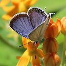 Eastern Tailed Blue by Alice Kahn