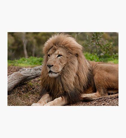 King of Werribee Zoo Photographic Print