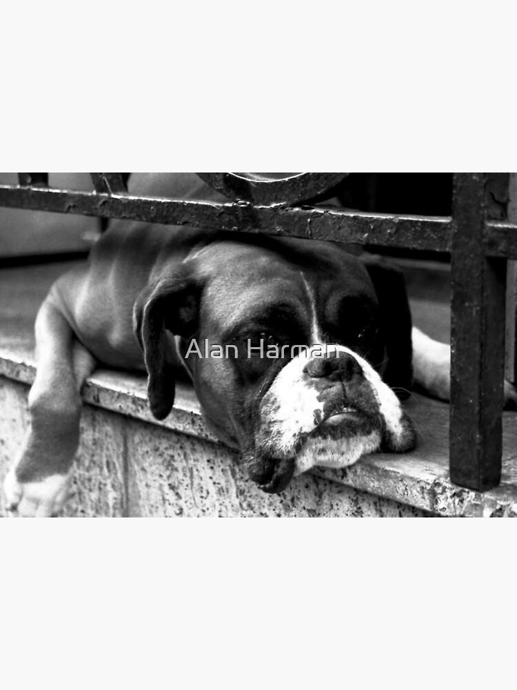 Boxer Dog On Windowsill by AlanHarman