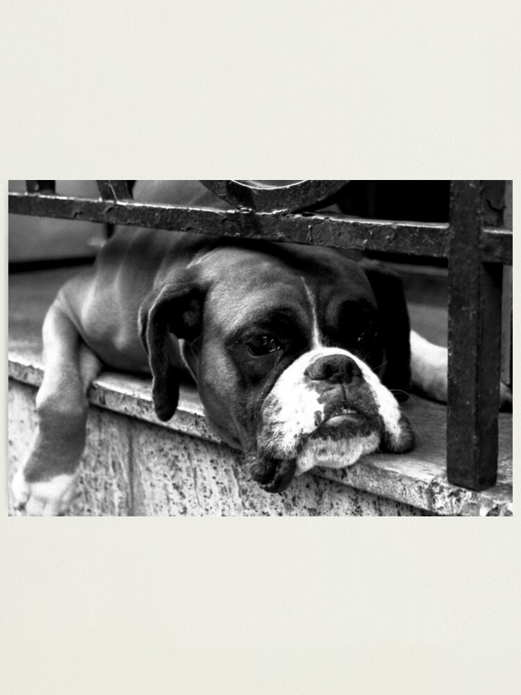 Alternate view of Boxer Dog On Windowsill Photographic Print
