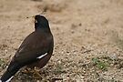 Myna in Taronga  by ellismorleyphto
