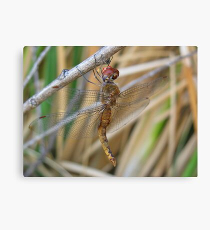 Dragonfly ~ Wandering Glider (Male) Canvas Print