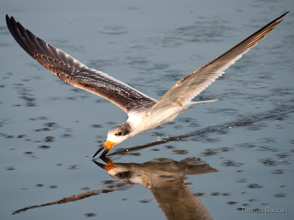 Skimmer Feeding Nice and Close by TJ Baccari Photography