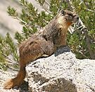 Marmot on rock by Anthony Brewer