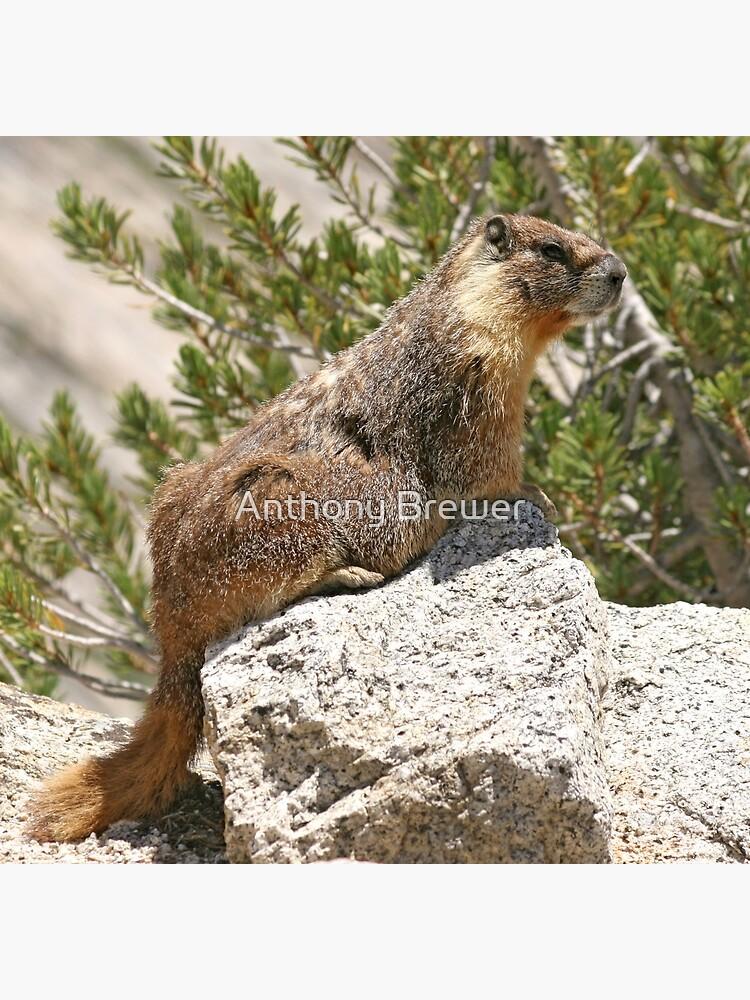 Marmot on rock by dailyanimals