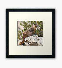 Marmot on rock Framed Print