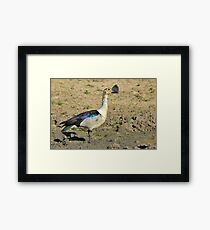 Knob-billed Duck - Funny and Beautiful Nature Framed Print
