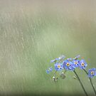 Forget Me Not in the Rain by Phototrinity