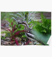 The Bush Stone Curlew  Poster