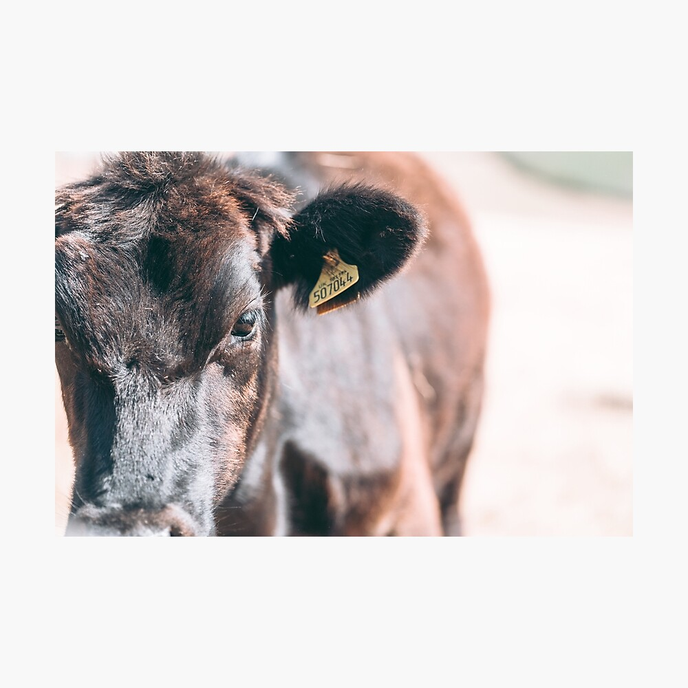 COW OF CORNWALL - 2018 Photographic Print