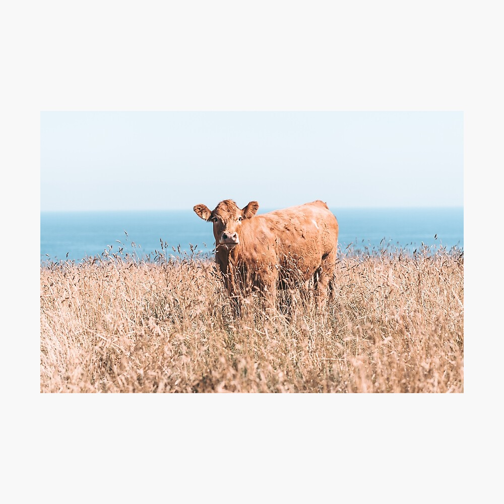COWS OF CORNWALL - 2019 Photographic Print