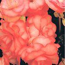 Garden Rose by Aliesha Low