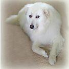 Miley Mein 3 Jahre alter Rettungsmaremma-Schäferhund von vette