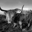 Highland Cow by Jonnyfez