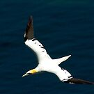 Gannet #2 by Trevor Kersley